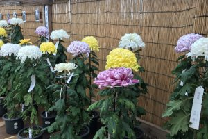 There are pots and pots of chrysanthemums in various colors