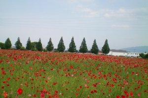 Kirin Brewery's poppy field