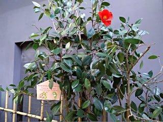 As plantas colocadas nos jardins das casas deste bairro são verdadeiras e correspondem também ao que as pessoas plantavam na época. Aqui na foto podem ver uma camélia (tsubaki).