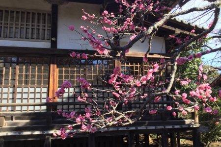 The Plum Trees of Shimizu Park
