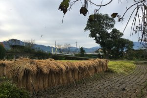 View from the house of rice drying in the fields