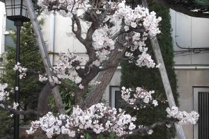 Cherry-blossoms in the grounds