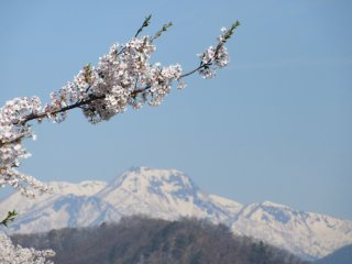 Sakura and mountains: the iconic view of Japan