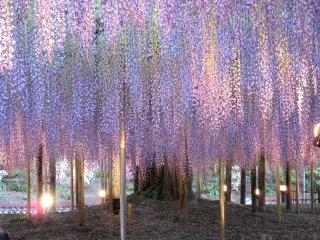 Wisteria at the Ashikaga Flower Park
