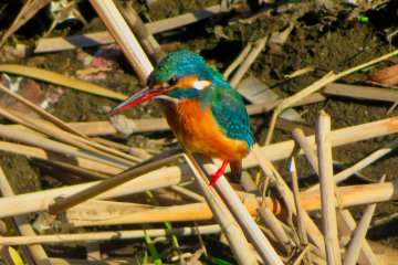 Japanese Common Kingfisher