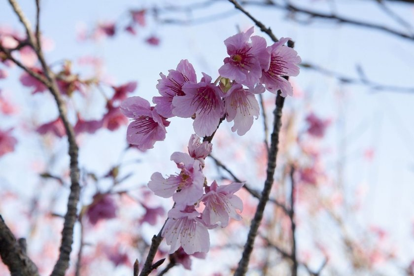 The delicate beauty of sakura blossoms