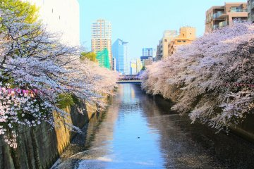 The Cherry Blossoms of Tokyo's Meguro River