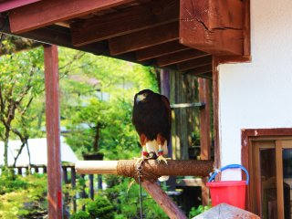 Injured a long time ago, this beautiful Eagle is kept by an old shopkeeper in the middle of town. Don't stand too close, however, it is protective of its home!
