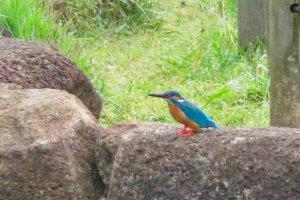 Hodogaya Park pond Kingfisher