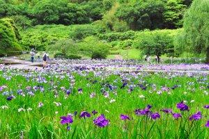 Yokosuka Main Iris Garden