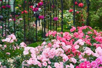 Kioi Autumn Roses