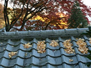 Yellow ginkgo leaves accumulate on the rooftop
