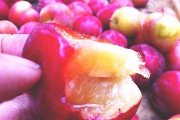 เก็บผลไม้สดๆ ทานด้วยตัวเอง