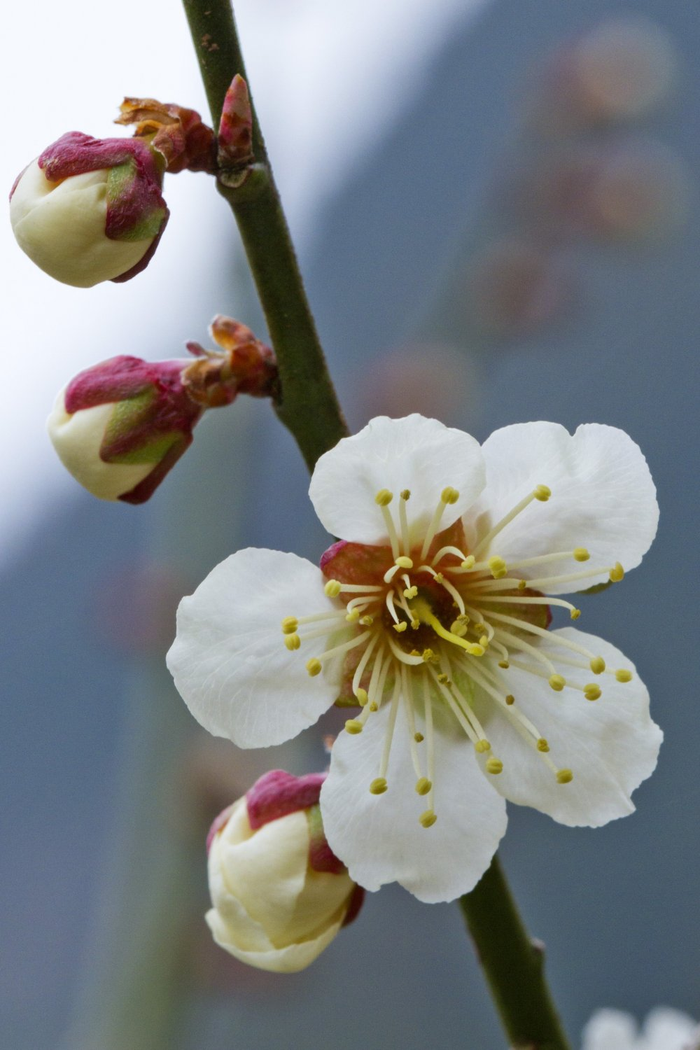 Ume precede the more famous sakura, or cherry blossoms, by a month
