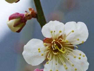 Ume lebih dahulu mekar satu bulan sebelum bunga sakura atau cherry blossoms yang lebih terkenal darinya mekar.