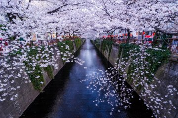 JapanTravel Special: Cherry Blossom Photography Tour