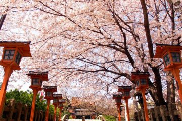 Kyoto Private Cherry Blossoms Tour with Local Guide