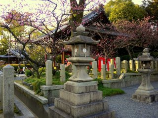 Bunga plum merah muda mengelilingi sebuah bangunan kuil