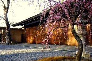 Ada sebuah pohon plum merah muda di halaman kuil