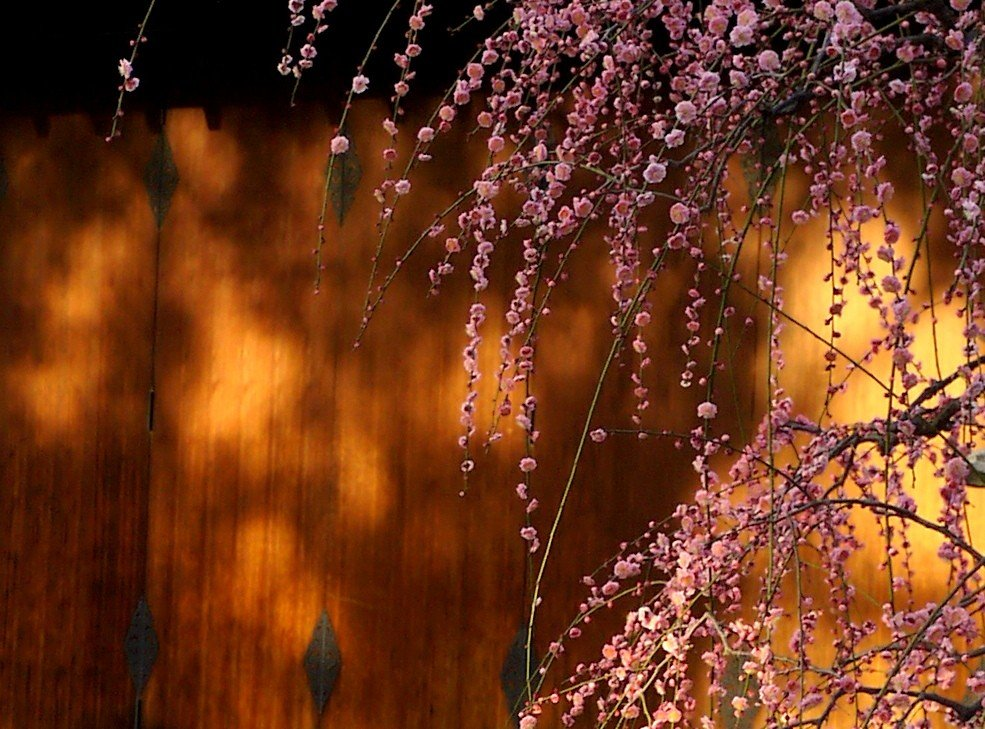 Semburan plum merah muda yang menjulur ke bawah