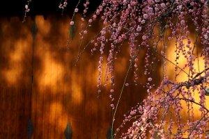 De longues grappes de prunier pleureur roses