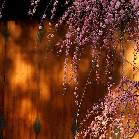 ดอกพลัมบานที่ Jonan-gu in เกียวโต
