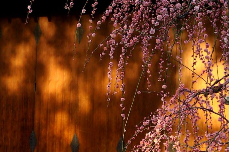 Цветение сливы в Дзёнан-гу в Киото
