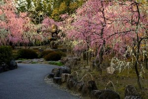 There is an enclosed garden with many weeping plum trees