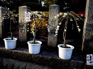 Anda bisa membeli bonsai plum Anda sendiri!