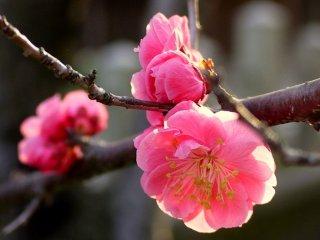 Plum merah muda yang indah