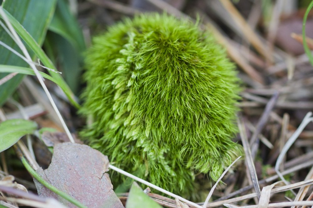 이 밝은 초록색의 귀여운 공은 두 종류의 이끼를 가지고 있는데, 대부분은 아마도 스콧의 포크모스를 가지고 있을 것이다