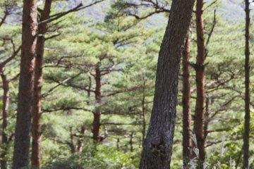 기리시마 일본 붉은 소나무 또는 아카 마츠는 우아한 쉼터를 제공한다. 나무 몸통을 가까이서 보면 독특한 빨간 껍질을 보게 될 것이다