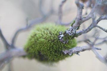 나뭇가지에 있는 이 곱슬곱슬한 에메랄드 조각은 눅눅한 포크모스로 보인다