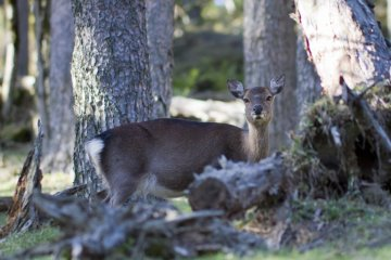 A deer, or shika, came very close to the path in the late afternoon