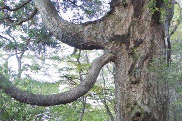 One of the peculiar trees near Rokukannon Shrine
