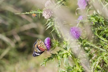 A butterfly visits thistle flowers near Fudou Pond