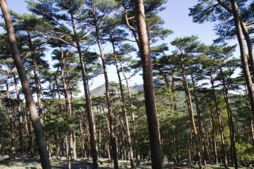 Soon you'll be in the pine forest
