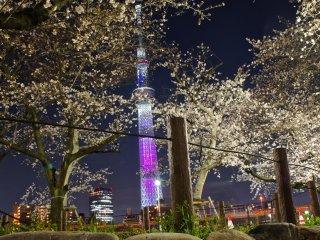سوميدا بارك في الليل . الزهور الجميلة والوردية ، في موسمها والإضاءة من طوكيو سكاي تري .