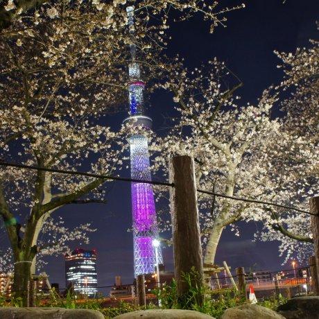 Pencahayaan Sakura di Taman Sumida
