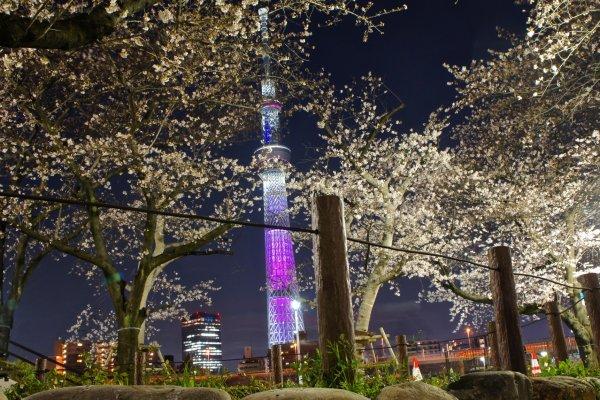 夜の隅田公園。美しい桜とピンク色にライトアップされた東京スカイツリー。スカイツリーの色は季節により変化する