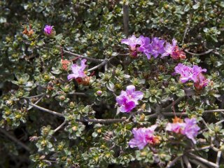 Kyushu azaleas (Rhododendron kiusianum), known as miyamakirishima here, cover the Ebino Plateau in May; but I found a few flowers in October