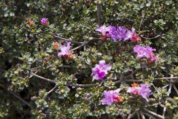 규슈 철쭉은 5월에 에비노 고원을 덮었지만, 10월에는 몇 송이의 꽃만