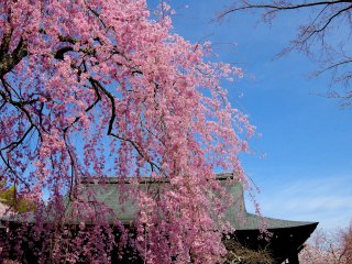 Weeping cherry trees against the clear blue sky