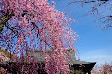 Chùa Tenryu-ji mùa xuân ở Kyoto