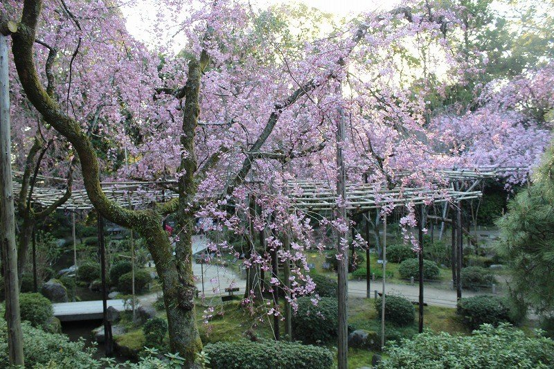 The beautiful April cherry blossoms are in full bloom in the southern part of the garden. You can enjoy various flowers blooming in all seasons.