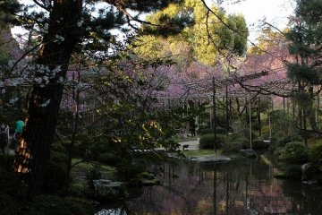 Cherry blossoms are reflected in White Tiger Pond