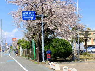 Along the road, within the compound of a school, this Cherry Blossom tree stands proud and captivating.