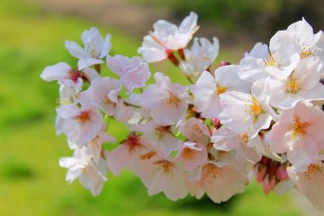 Enjoying Numazu's Cherry Blossoms