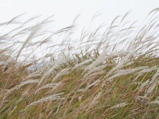 Susuki in the wind