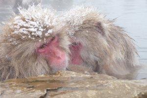 Snow monkeys keeping company